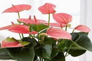 Anthurium Pink.jpg