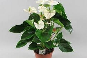 Anthurium White.jpg