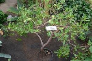 Cashew Nut Plant.jpg
