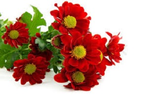 Chrysanthemum Red.jpg