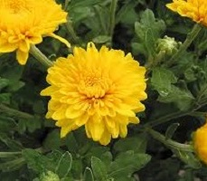 Chrysanthemum Yellow