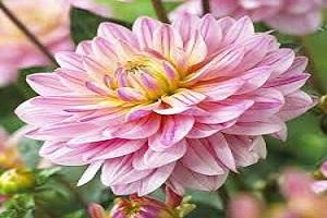 Dahlia Pink.jpg