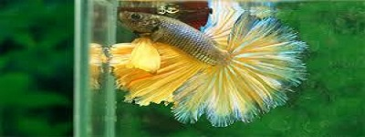 Double Tail Betta Fish.jpg