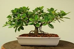 Fig Bonsai.jpg