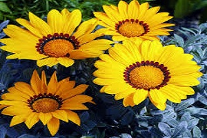 Gazania Yellow