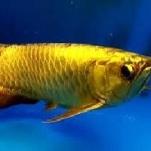 Golden Arowana 1