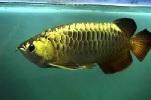 Golden Arowana 2