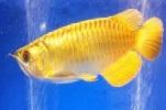 Golden Arowana
