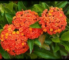 Ixora Long Orange