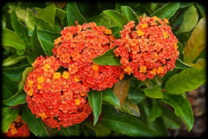 Ixora Long Orange.jpg