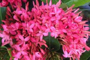 Ixora Long Pink