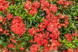 Ixora Long Red
