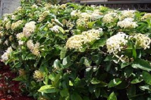 Ixora Long White.jpg