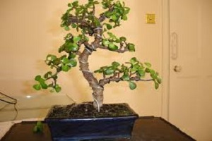 Jade Bonsai.jpg