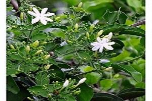 Jui Plant.jpg