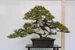 Juniper Bonsai.jpg