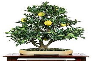 Lemon Bonsai.jpg