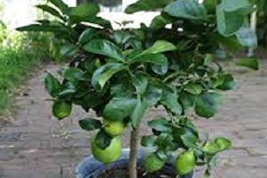Lemon Plant