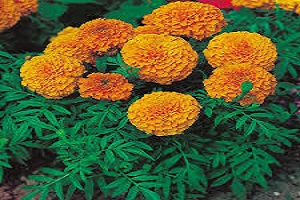Marigold Orange.jpg