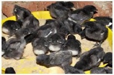 One Day Old Kadaknath Chick