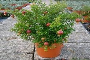 Pomogranate plant.jpg