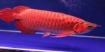 Red Arowana 1