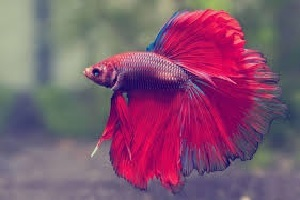 Red Full Moon Betta