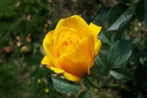 Rose Yellow.jpg