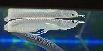 Silver Arowana 3
