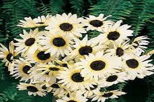 Sunflower Dwarf White.jpg