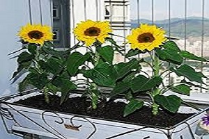 Sunflower Dwarf Yellow.jpg