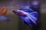 Veil Tail Betta Fish