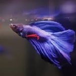 Veil Tail Betta Fish